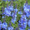 Veronica austriaca 'Crater Lake Blue' - Fogaslevelű veronika