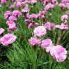 Dianthus 'Dinetta Pink' - Szegfű