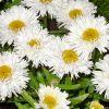 Leucanthemum 'Aglaia' - Margitvirág