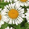 Leucanthemum 'Lacrosse' - Margitvirág