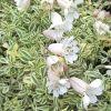 Silene uniflora 'Druett's Variegated' - Habszegfű