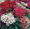 Dianthus barbatus 'Barbarini Mix' - Törökszegfű