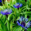 Centaurea montana - Hegyi imola