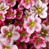 Saxifraga x arendsii 'Highlander Rose Shades' - Arends-kőtörőfű