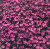 Aubrieta x hybrida 'Florado Rose' - Pázsitviola