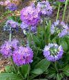 Primula denticulata 'Corolla Blue' - Gömbös kankalin