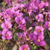 Arabis caucasica 'Little Treasure Deep Rose' - Kaukázusi ikravirág