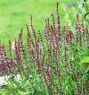 Salvia superba 'Merleau Rose' - Ligeti zsálya