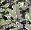 Salvia officinalis 'Tricolor' - Orvosi zs�lya