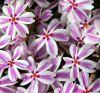 Phlox subulata 'Candy Stripe' - Árlevelű lángvirág