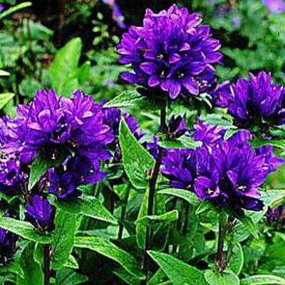 Campanula glomerata 'Bellefleur Blue' :: Flora Nostra