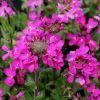 Arabis blepharophylla 'Spring Charm' - Pillás ikravirág