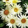 Leucanthemum 'Broadway Lights' - Margitvirág