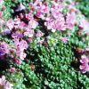 Thymus praecox - Korai kakukkfű