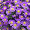 Aster dumosus 'Magic Blue' - Őszirózsa