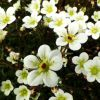 Saxifraga x arendsii 'Buttercream' - Arends-k�t�r�f�