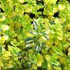 Thymus x citriodorus 'Archer s Gold' - Citromillatú kakukkfű