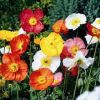 Papaver nudicaule 'Bubbles F1 Mix' - Izlandi mák