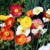 Papaver nudicaule 'Spring Fever' - Izlandi mák