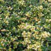 Thymus x citriodorus 'Doone Valley' - Citromillatú kakukkfű