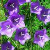 Campanula persicifolia 'Takion Blue' - Baracklevelű harangvirág