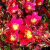 Saxifraga x arendsii 'Touran Scarlet' - Arends kőtörőfű