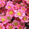 Saxifraga x arendsii 'Touran Pink' - Arends-kőtörőfű