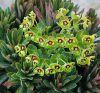 Euphorbia x martinii 'Tiny Tim' - Kutyatej