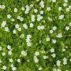 Sagina subulata 'Supreme' - Szálkás zöldhúr