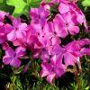 Phlox subulata 'McDaniel's Cushion' - Árlevelű lángvirág
