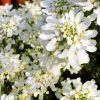 Iberis sempervirens 'Tahoe' - Örökzöld tatárvirág