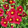 Helianthemum 'Hartswood Ruby' - Napvirág
