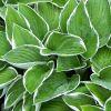 Hosta 'Francee' - Tobozvirágú árnyékliliom