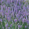 Lavandula angustifolia 'Blue Scent' - Orvosi levendula