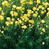Santolina rosmarinifolia - Zöld cipruska