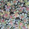 Sedum floriferum - Dúsvirágú varjúháj