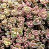 Sedum cyaneum 'Sachalin' - Rózsáskék varjúháj