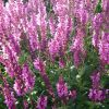 Salvia nemorosa 'Sensation Deep Rose' - Ligeti zs�lya
