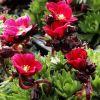 Saxifraga x arendsii 'Luschtinetz' (Harder Zwerg) - Arends-kőtörőfű