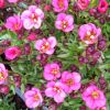 Saxifraga x arendsii 'Touran Neon Rose' - Arends k�t�r�f�