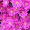 Aster dumosus 'Magic Pink' - Őszirózsa