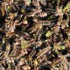 Cotula squalida 'Platt's Black' (Leptinella) - Barna lúgvirág