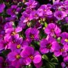 Aubrieta x hybrida 'Audrey F1 Red-Purple Mix'' - P�zsitviola
