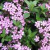 Saponaria ocymoides - Gyepes szappanfű