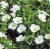 Arenaria montana 'Summer White' - Hegyi homokhúr