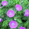 Geranium sanguineum 'Vision Violet' - Piros gólyaorr