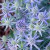 Eryngium alpinum 'Blue Hobbit' - Havasi irngó
