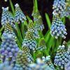 Muscari aucheri 'Blue Magic' - Világoskék gyöngyike
