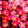Saxifraga x arendsii 'Highlander Red' - Arends-kőtörőfű