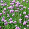 Allium schoenoprasum - Metélőhagyma